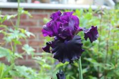 17 bearded iris