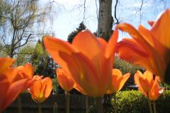 4 Tulip Ballerina